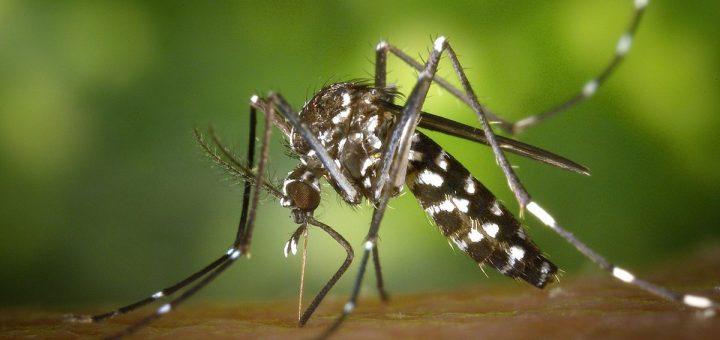 Le moustique tigre asiatique a été génétiquement modifié lors d'expériences en laboratoire avec la technologie CRISPR visant à limiter la propagation de la maladie.