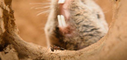 Les rats-taupes Highveld partagent souvent leurs systèmes de terriers avec une espèce de fourmi indigène, Myrmicaria natalensis, connus pour leur piqure agressive, mais le rat-taupe Highveld est totalement insensible à cette douleur grâce à un gène précis - Dewald Kleynhans, University of Pretoria