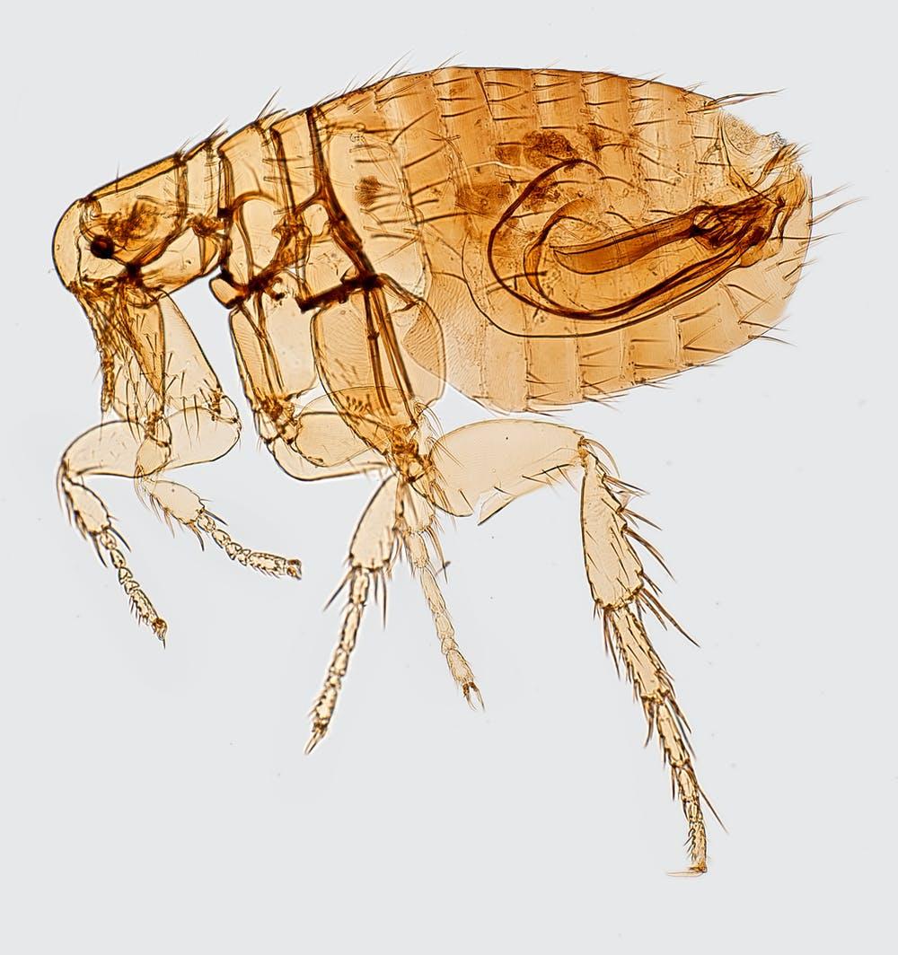 Les puces propagent la peste bubonique et ont tendance à proliférer dans les habitats des rongeurs  - Crédit : CDC / Ken Gage, CC BY