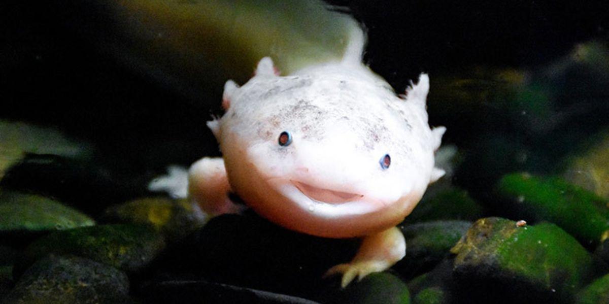 Les salamandres fascinent les êtres humains depuis des siècles. Mais une variante, connue comme l'axolotl, pourrait bien, un jour, nous permettre de comprendre et d'utiliser la régénération cellulaire.