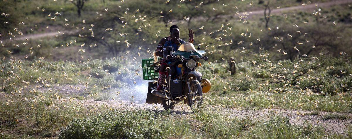 Alors que tout le monde panique sur le coronavirus, l'Afrique est détruite par les criquets pélerins. Et une cause essentielle est la propagande écologique, mené par les ONG européennes, pour bannir tous les pesticides, qui fait que le continent est absolument sans défense contre cette nouvelle plaie.