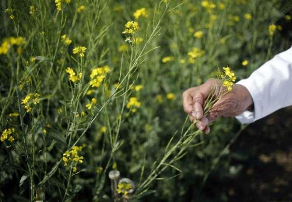 L'Inde capitule face à la culture des OGM