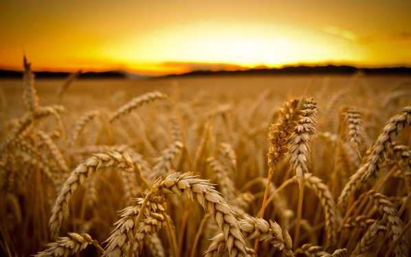 Le réchauffement climatique va réduire la production du blé