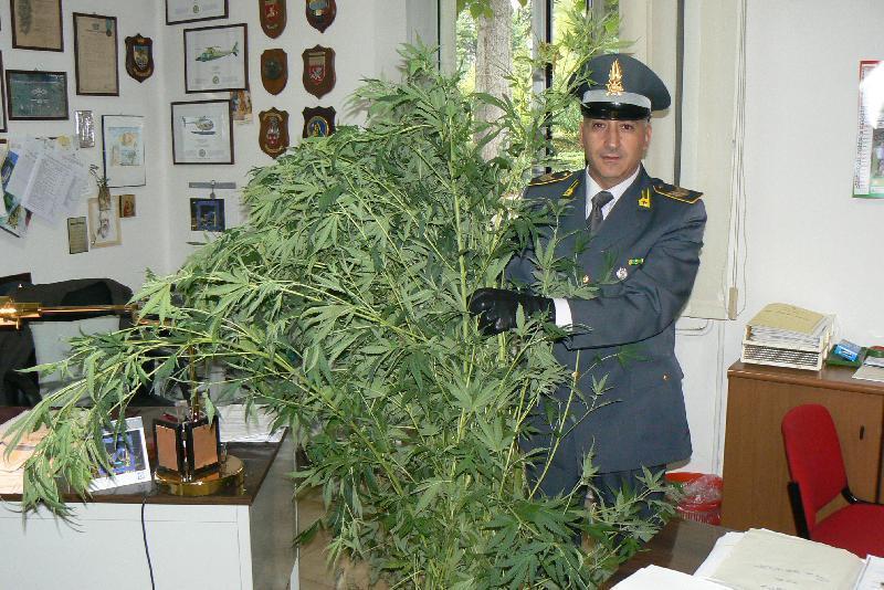 39 curava 39 piantagione di marijuana in mansarda 13 piante for Piante da giardino alte 2 metri