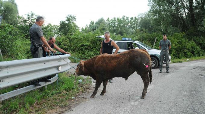 Toro scatenato tra i 'bisonti' e le auto