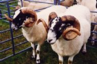 Sheep at the Show