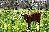 A walk amongst the daffodils