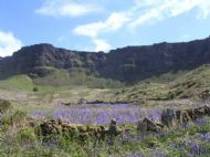 Bluebells on Eddie's Eigg Croft