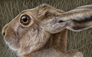 Brown Hare Beauty