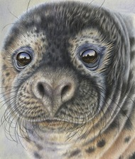 Grey Seal Gaze