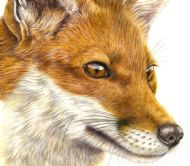 Red Fox Fascination
