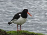 OYSTER CATCHER ON OUR FORESHORE