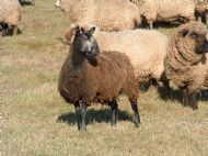 coloured blue faced leicester ewe