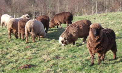 corriedale shearling rams