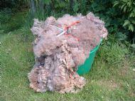 freshly shorn corriedale fleece