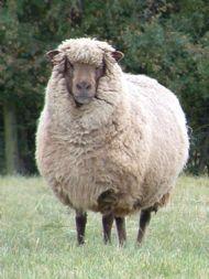 corriedale ewe