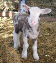 spotty lamb