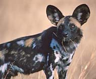 african wild dog conservancy