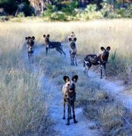 painted wild dogs, zimbabwe