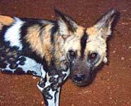 mkomazi african wild dog