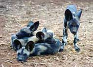 mkomazi game reserve wild dogs