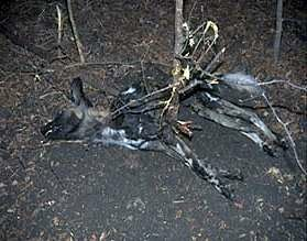 painted wild dogs - dog killed by illegal snares