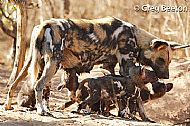 Painted Dog with Pup