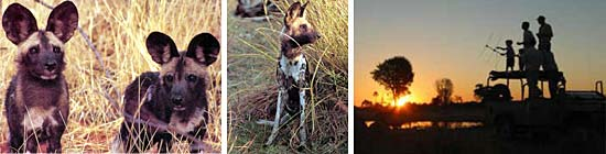 botswana african wild dog research project photo