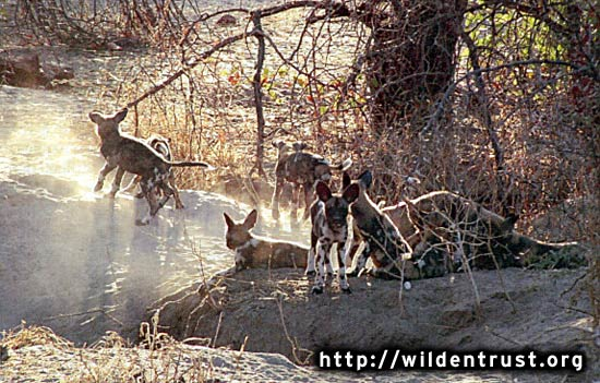 african wilddogs - a caring community