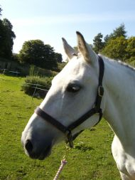 the Padded, Fancy stitched headcollar