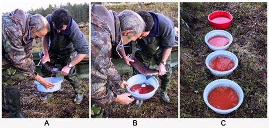 novar fishings, river alness, salmon broodstock stripping
