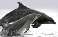 photograph of dolphin  & calf courtesy charlie phillips