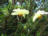 Meconopsis pseudointegrifolia
