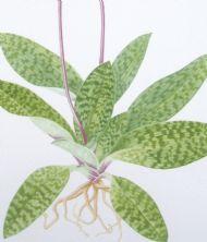 Paphiopedilum orchid detail