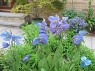 Meconopsis George Sherriff group