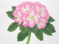 Rhododendron Bruce Brechtbil
