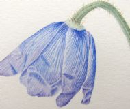 Meconopsis simplicifolia opening flower