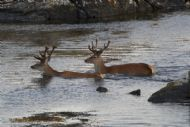 Deer swimming