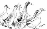 Angus' Ducks