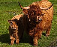 Highland Cow - Mother and Son