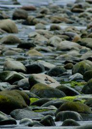 Ringed Plover, Talisker Bay