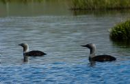 Red Throated Diver pair