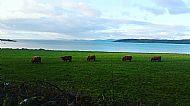 Highland Cows on Ormsary