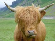 Highland Coo