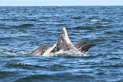 pair of bottlenose dolphins photographed on a boat trip