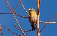 female scottish crossbill
