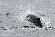 bottlenose dolphin chasing small fish