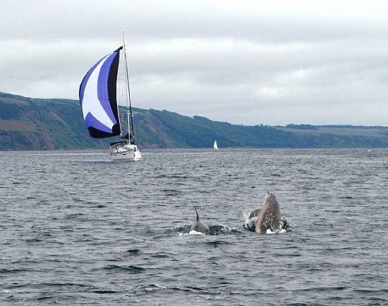 bottlenose dolphins escorting yacht off fort george