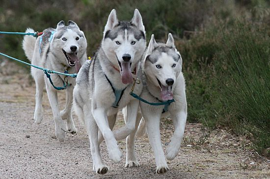 aviemore annual siberian husky sled dog rally