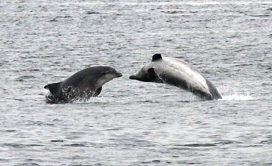 moray firth dolphins leaping for joy